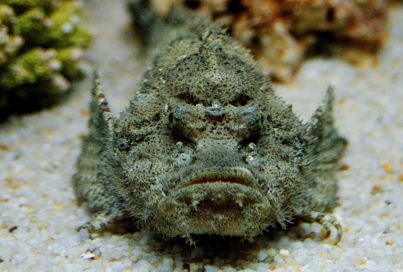Самые опасные животные мира: Рыба-камень