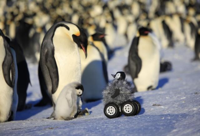 Робот-пингвиненок. Ученые научились шпионить за стеснительными пингвинами