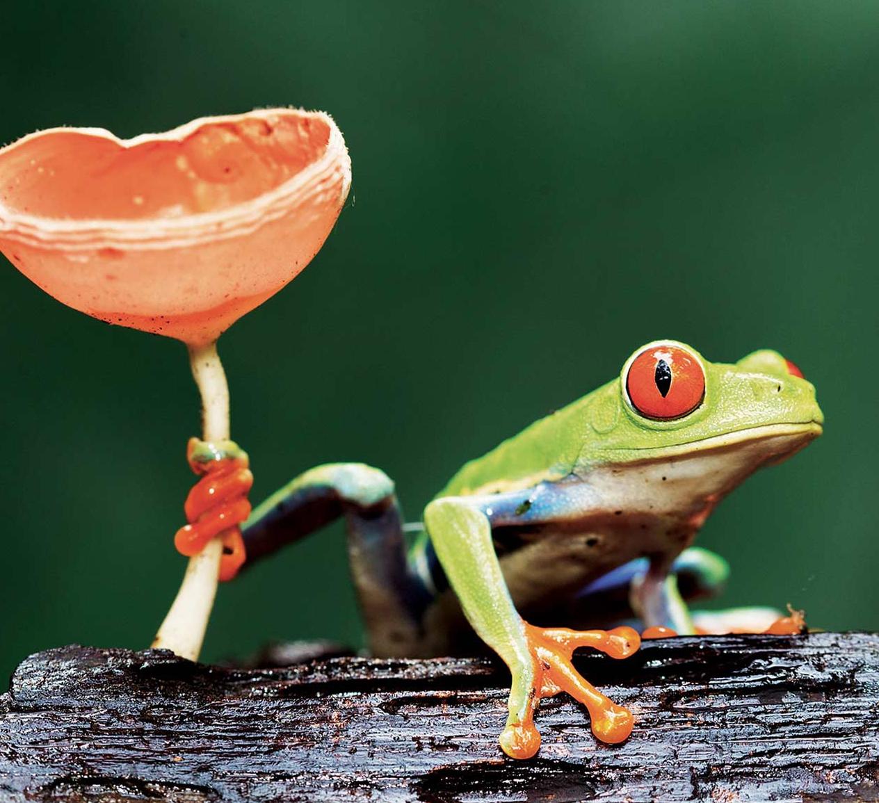 Животные Коста-Рики: Мексиканская древесная лягушка