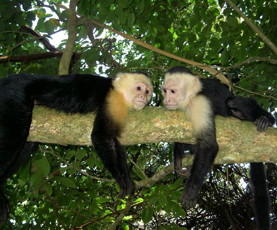 Животные Коста-Рики: Белоголовый капуцин